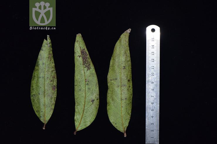 Glochidion sphaerogynum