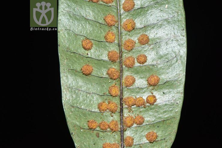 Neolepisorus ensatus