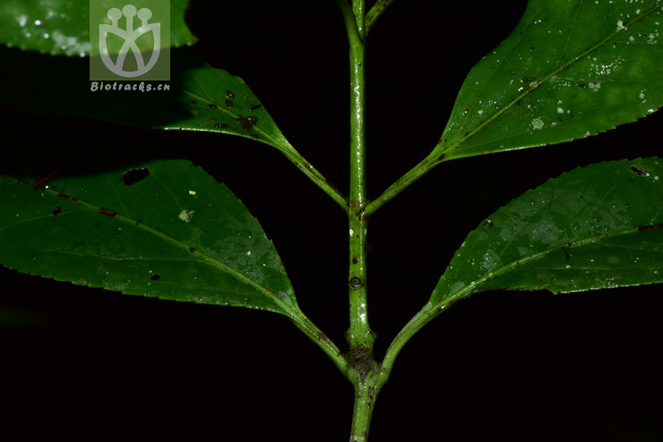 Euonymus wilsonii