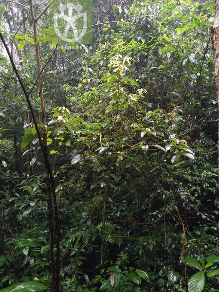 Sterculia lanceaefolia