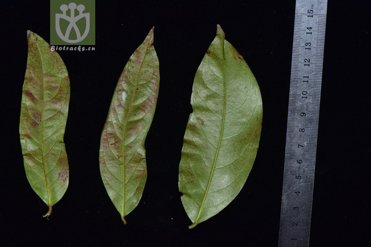 Phyllanthus khasicus