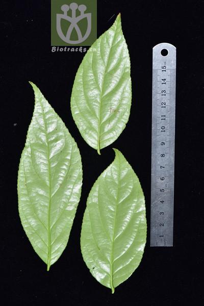 Euonymus bockii