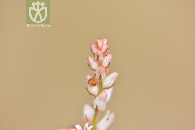 Aletris stenoloba