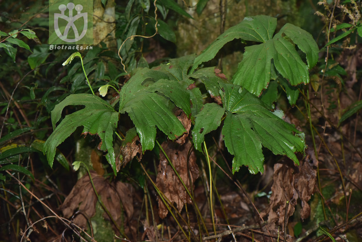 Dipteris chinensis