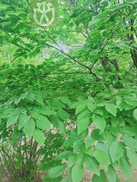 Ostrya mandshurica