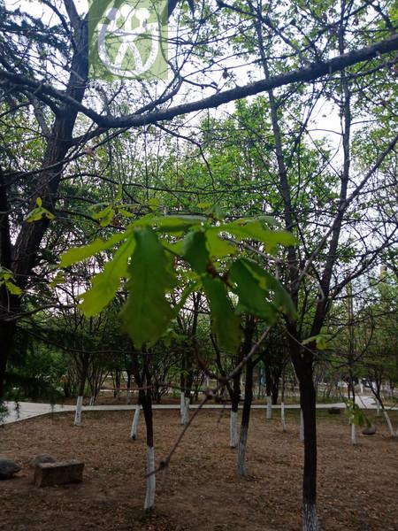 Quercus liaotungensis