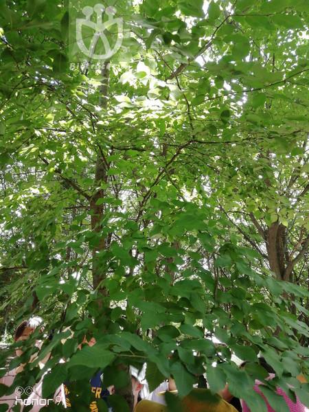 Carpinus stipulata