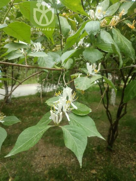 Lonicera praeflorens