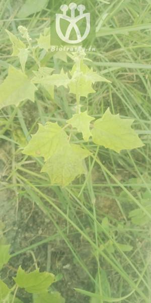 Chenopodium hybridum