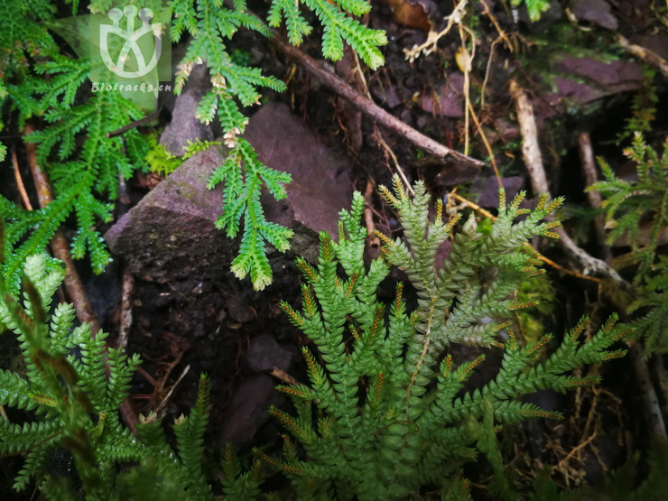 Selaginella monospora