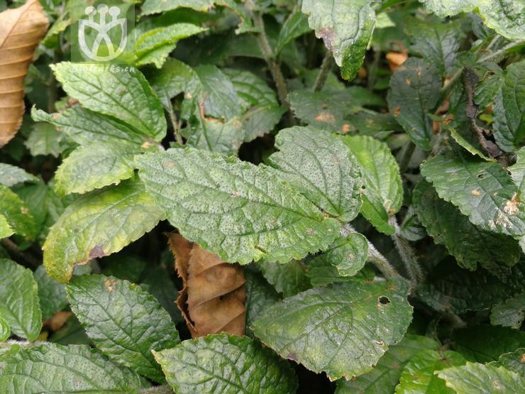 Fragaria calycina