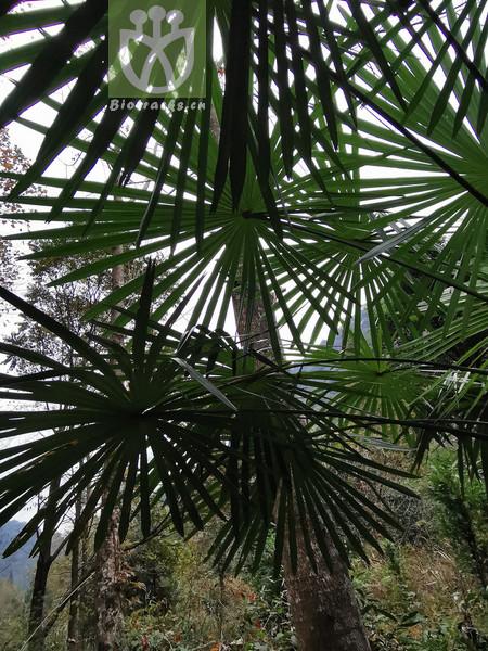 Acacia glandulosa