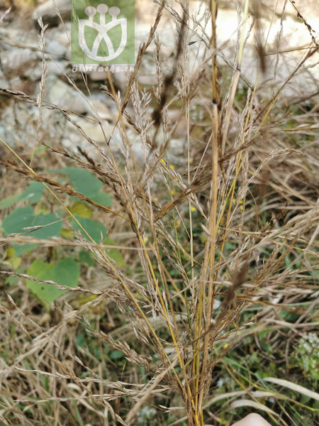 Salix rugulosa