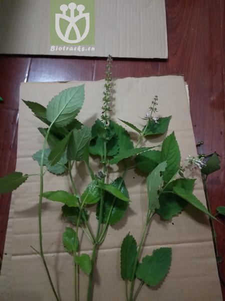Salvia bowleyana