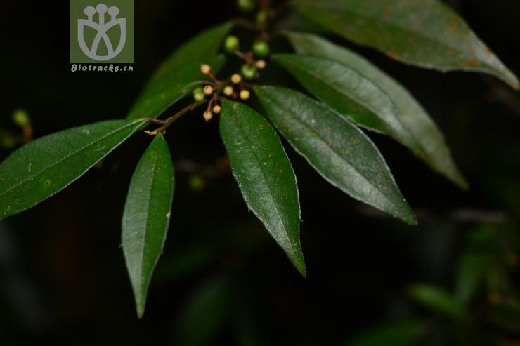 Myrsine marginata