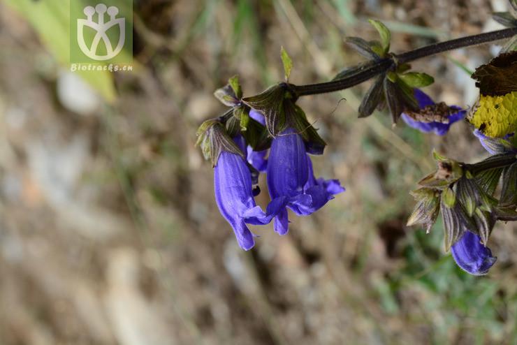 Salvia wardii