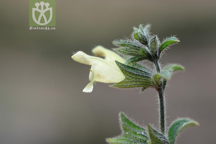 Salvia tricuspis