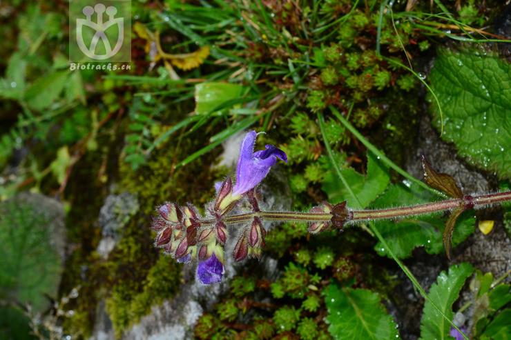 Salvia bulleyana