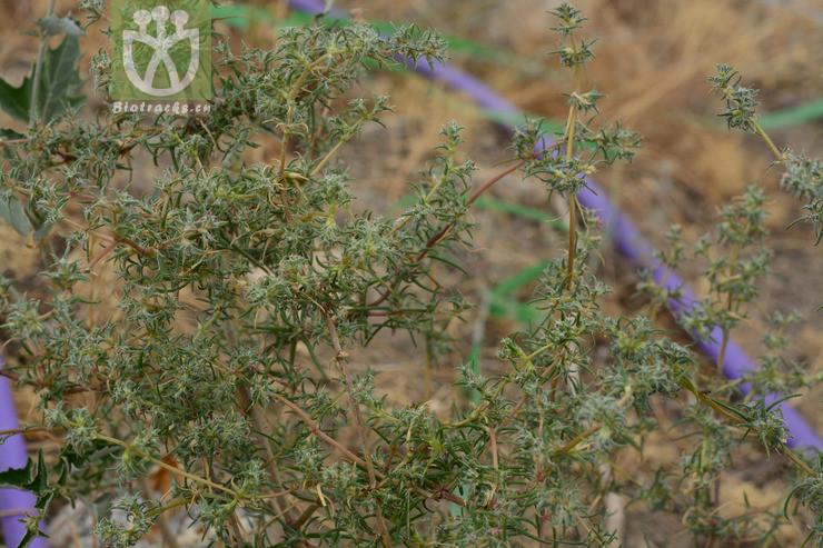 Petrosimonia sibirica
