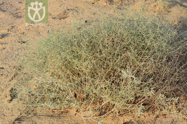 Ceratocarpus arenarius