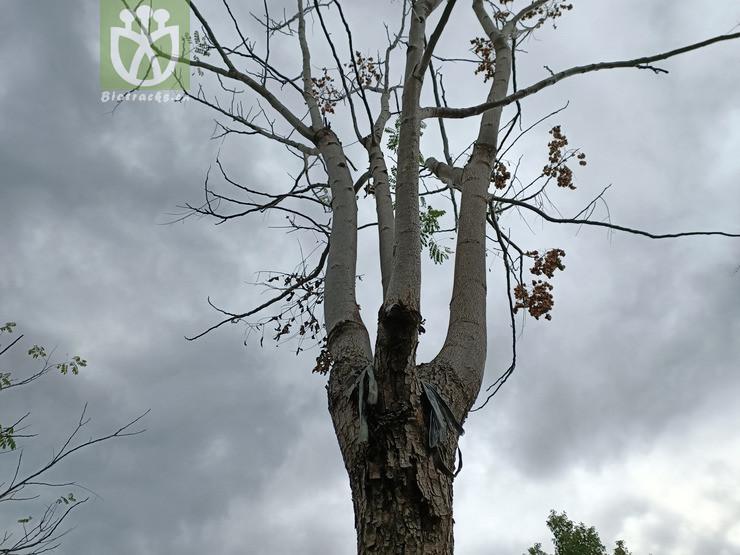Koelreuteria integrifolia
