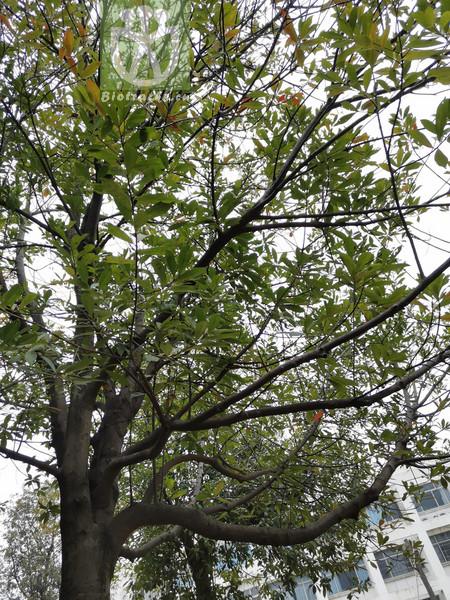 Elaeocarpus dubius