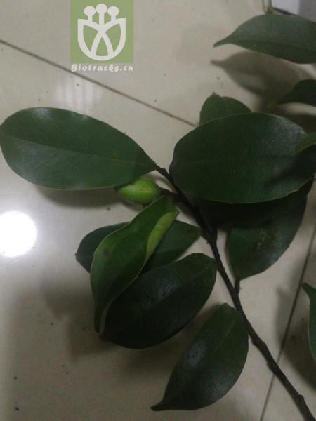 Prunus marginata