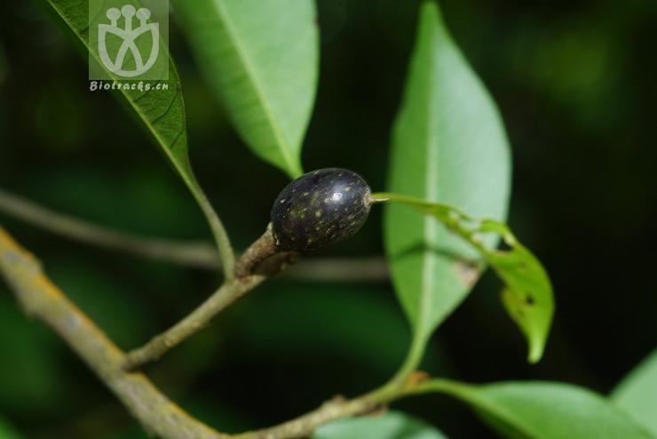 Sinosideroxylon wightianum
