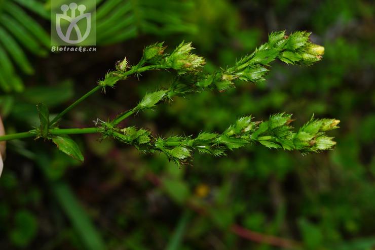 Hypericum elodeoides