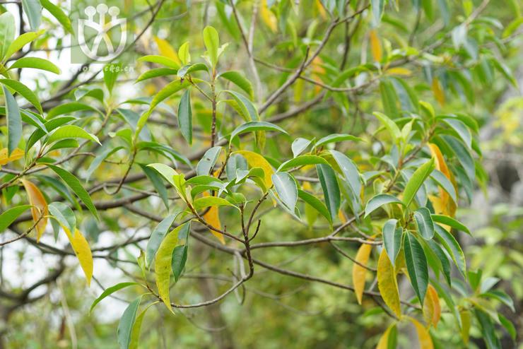 Sinosideroxylon pedunculatum