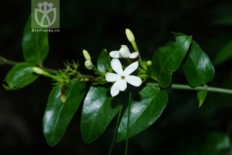Jasminum undulatum