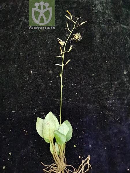 Ainsliaea fragrans