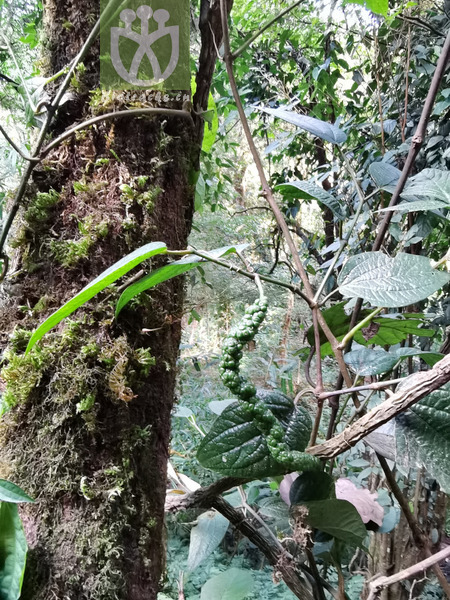 Piper tsangyuanense