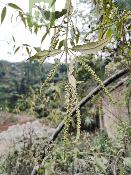 Potamogeton filiformis