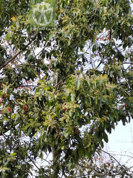 Elaeocarpus prunifolioides