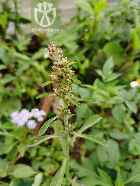 Daphne scytophylla