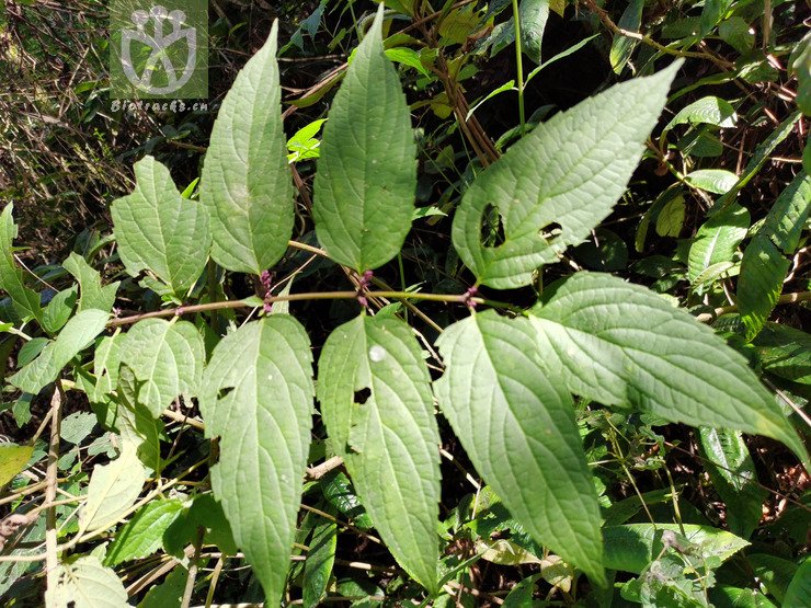 Phlomis fimbriata