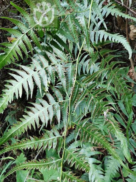 Acacia pruinosa