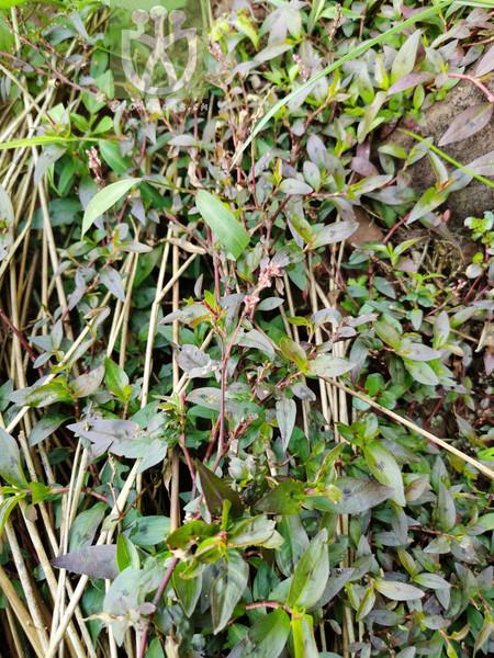 Daphne papyracea var. grandiflora