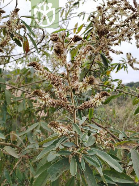 Artemisia vestita