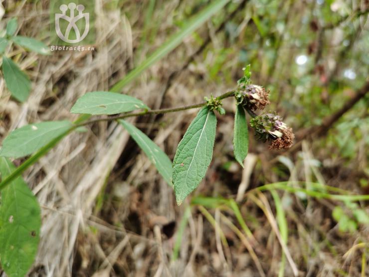 Acacia semicircinalis