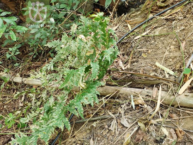 Acer acutum