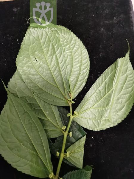 Laurus sumatrensis