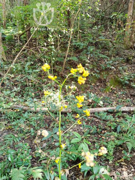 Populus rotundifolia var. bonatii