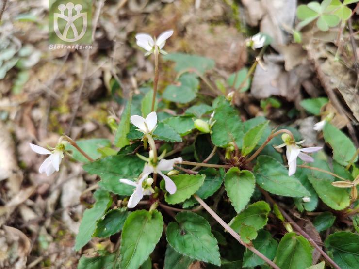 Phlomis pygmaea
