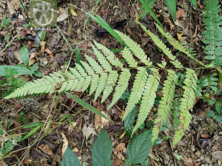 Myricaria squamosa