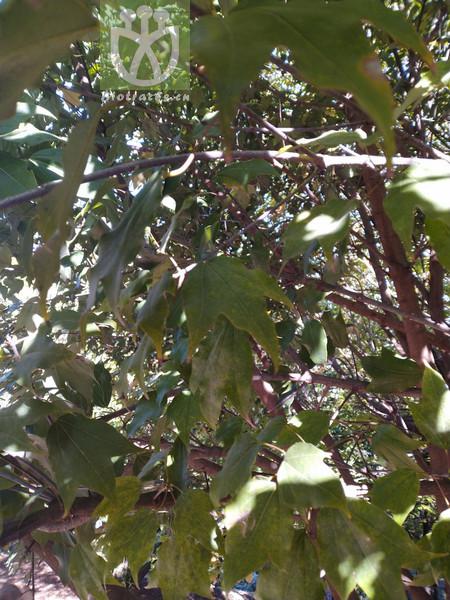 Acer paxii var. integrifolium