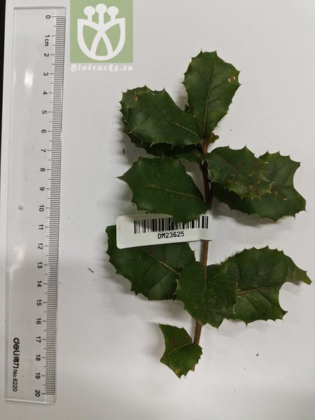 Quercus spinosa