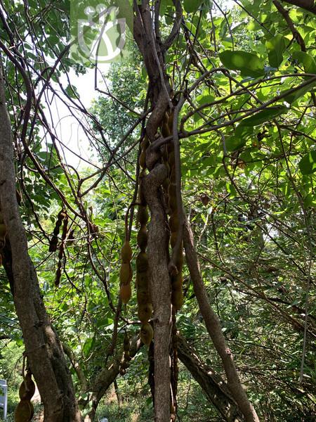 Trichophorum morrisonense
