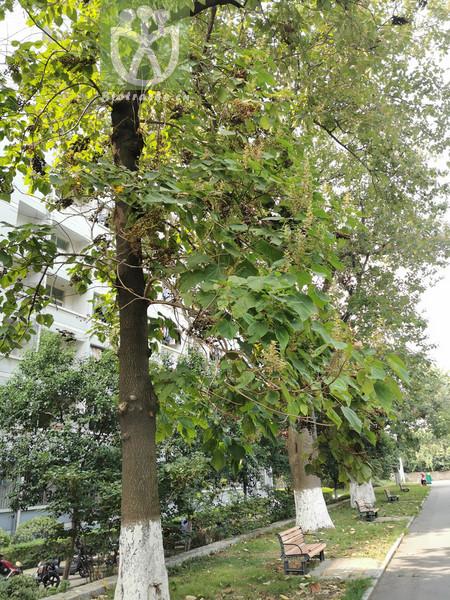 Paulownia tomentosa var. lanata